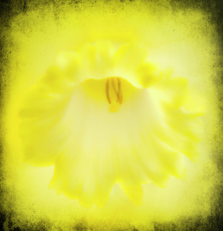 Daffodils Are Yellow Photograph