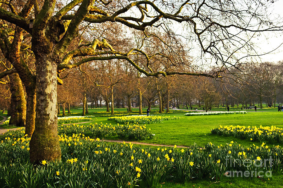 Daffodils In St. Jamess Park Photograph