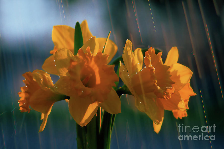 Daffodils In The Rain Photograph