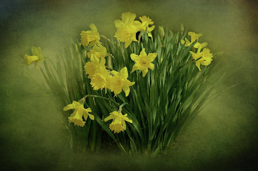 Daffodils Photograph
