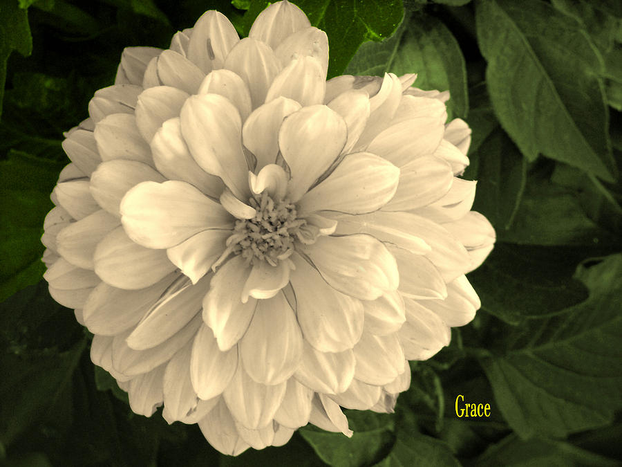 Dahlia Beauty Photograph