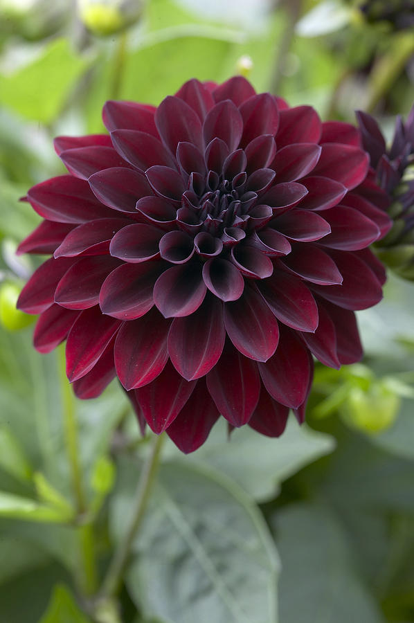 dahlia dahlia sp ronaldo variety flower photograph by. Black Bedroom Furniture Sets. Home Design Ideas