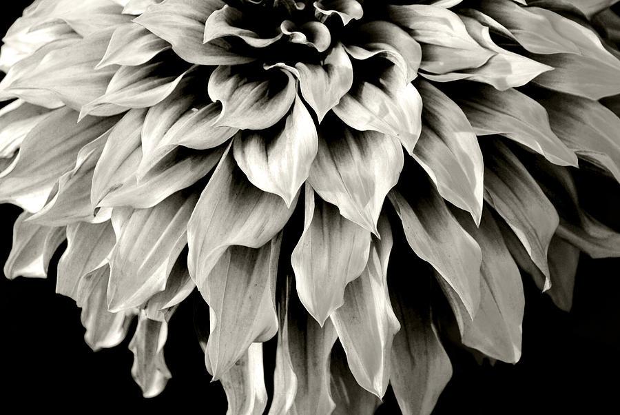 Dahlia Flower  Photograph