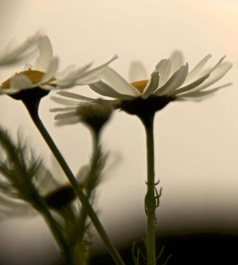 Daisies Dream Of Flying Photograph