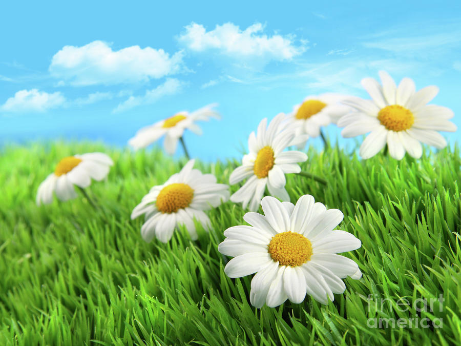 Daisies In Grass Against A Blue Sky Photograph  - Daisies In Grass Against A Blue Sky Fine Art Print
