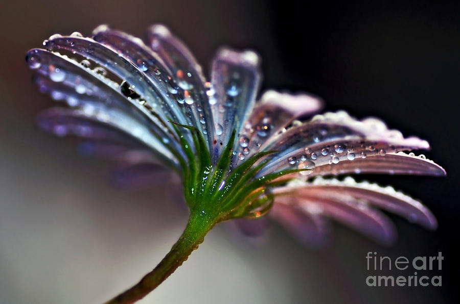 Daisy Abstract With Droplets Photograph