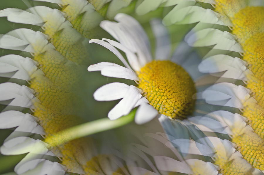 Daisy Delight Photograph  - Daisy Delight Fine Art Print