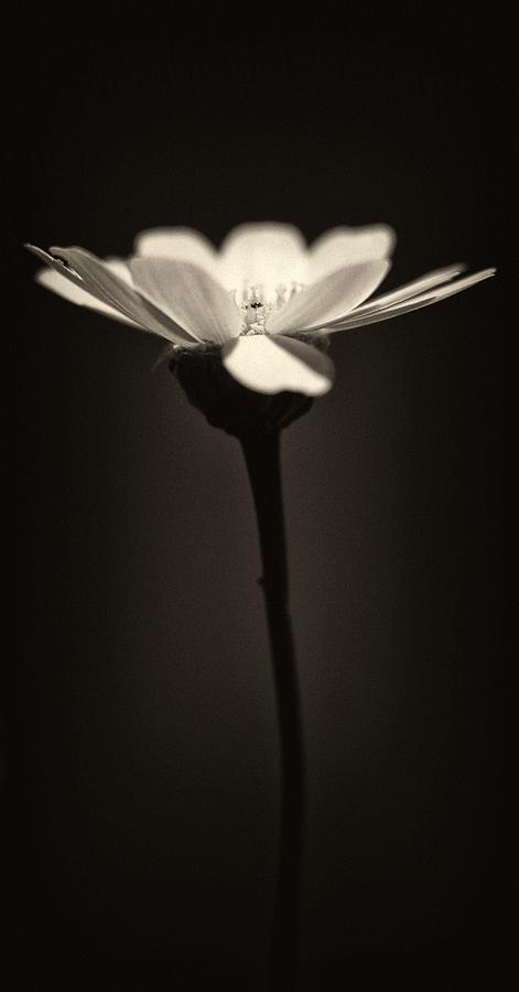 Daisy Flower Monochrome Photograph