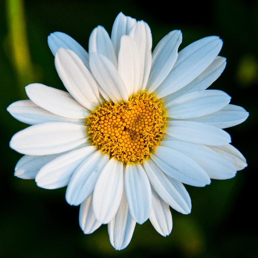 Daisy Heart by Gaetano Chieffo