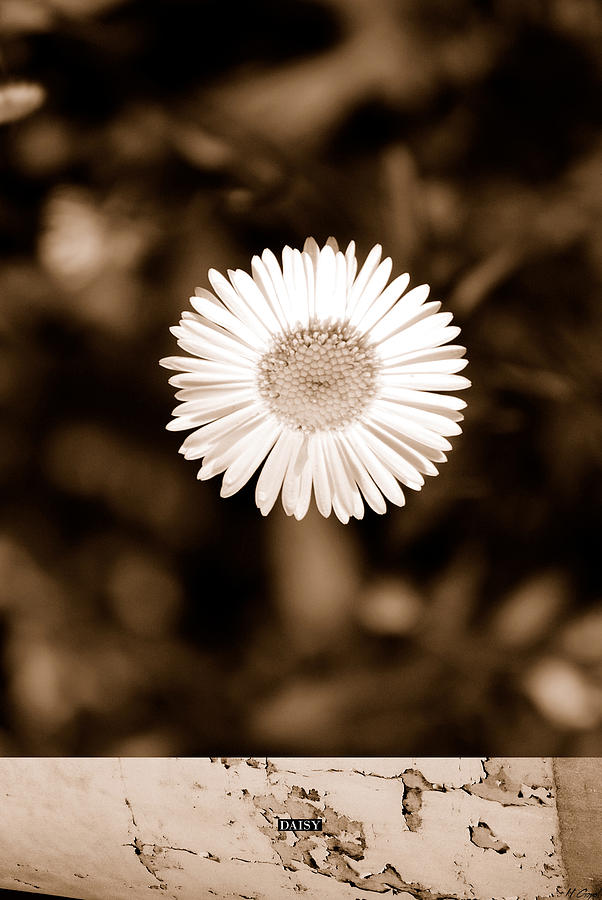 Daisy Photograph  - Daisy Fine Art Print