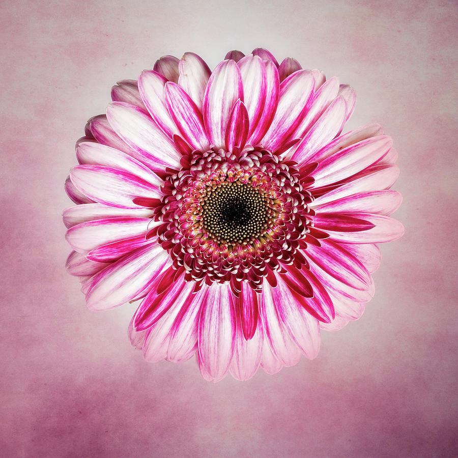Flower Photograph - Daisy I by Tamyra Ayles