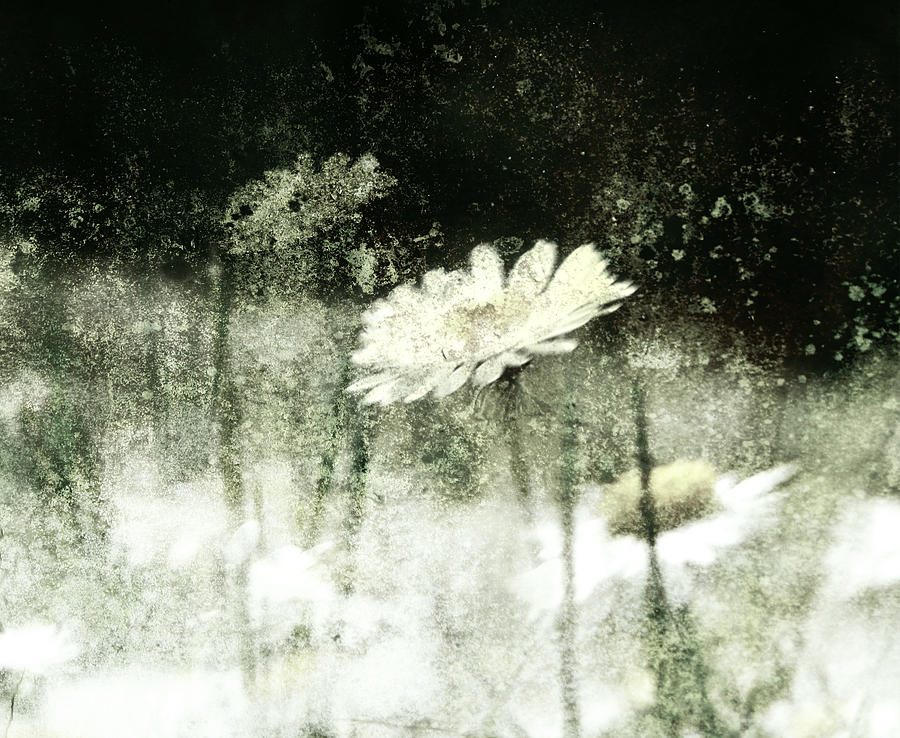 Asteraceae Photograph - Daisy Love by Florin Birjoveanu