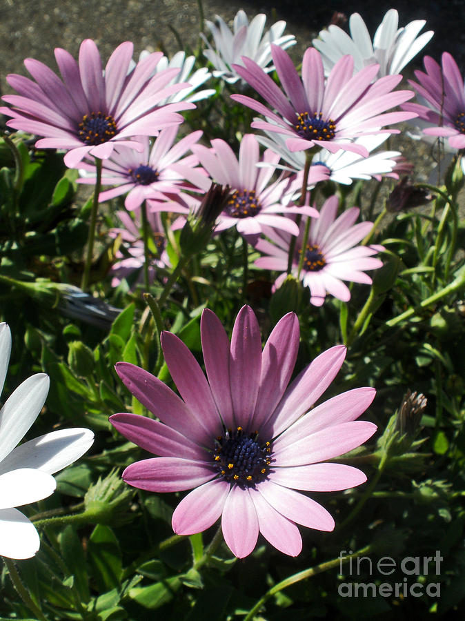 Daisy Patch Photograph