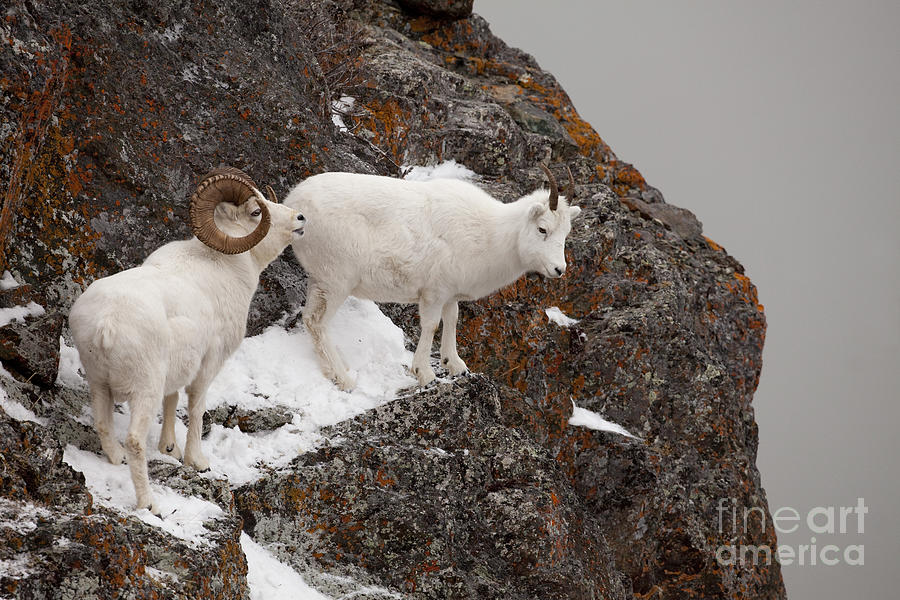 Dall Sheep On A Ledge Photograph