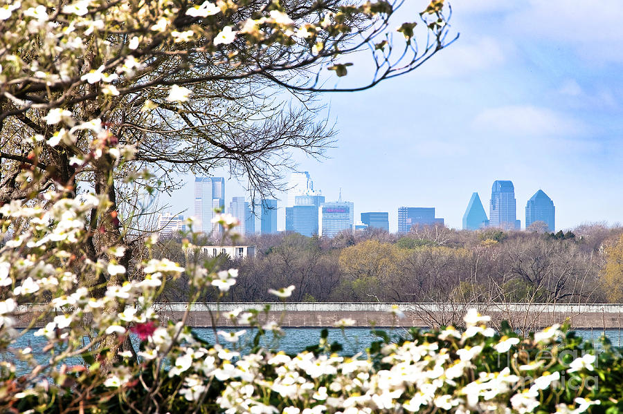 Dallas Through The Dogwood Flowers Photograph