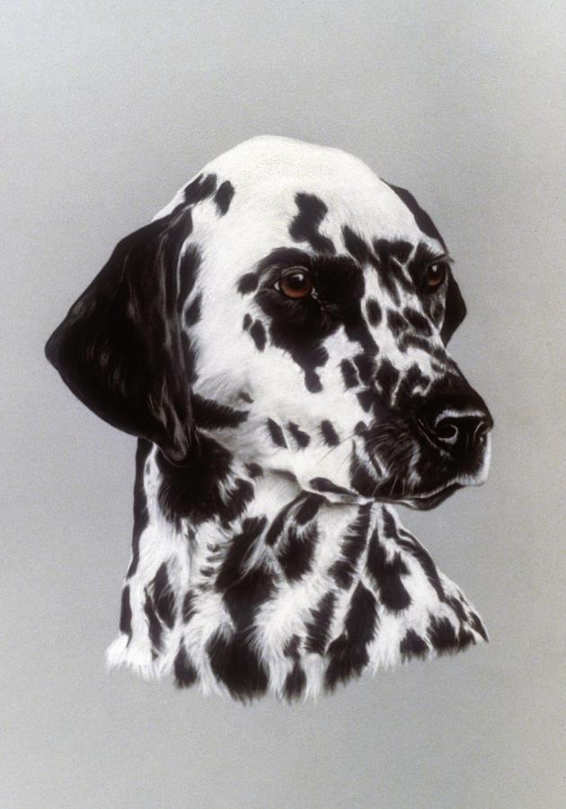 Dalmatian Pastel