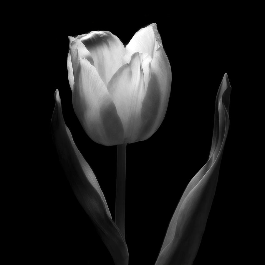 Dancing In The Moonlight - Black And White Tulip Macro Flower Photograph Photograph  - Dancing In The Moonlight - Black And White Tulip Macro Flower Photograph Fine Art Print