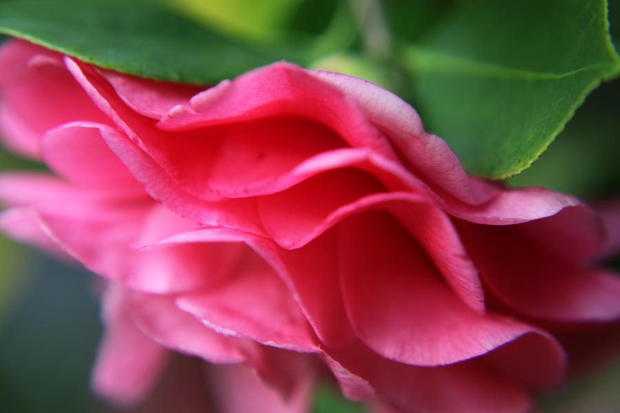 Dancing Petals Of The Camellia Photograph