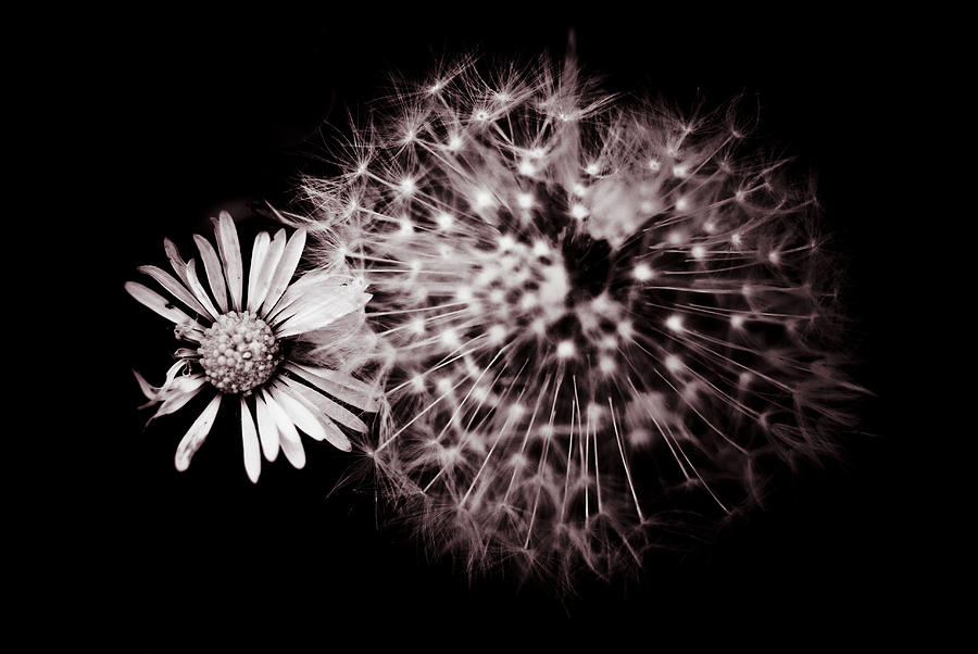 Dandelion And Daisy Photograph  - Dandelion And Daisy Fine Art Print