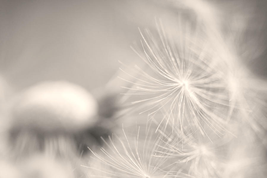 Dandelion Flower Photograph