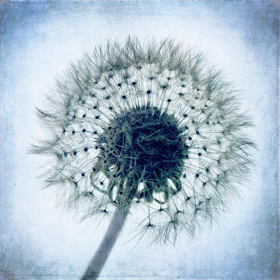Dandelion In Blue Photograph  - Dandelion In Blue Fine Art Print