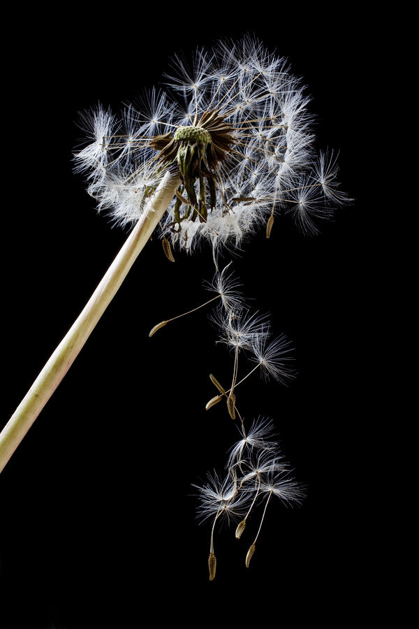 Dandelion Loosing Seeds Photograph  - Dandelion Loosing Seeds Fine Art Print