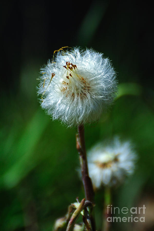 Dandelion Puff  Photograph