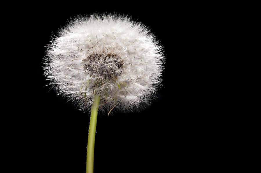 Dandelion Seedhead Photograph