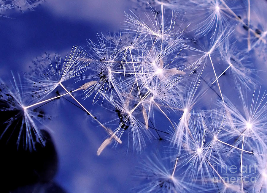 Dandelion Seeds Floating On Water Photograph