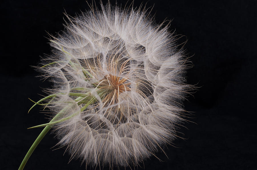 Background Photograph - Dandelion Silhouette by Ivelina G