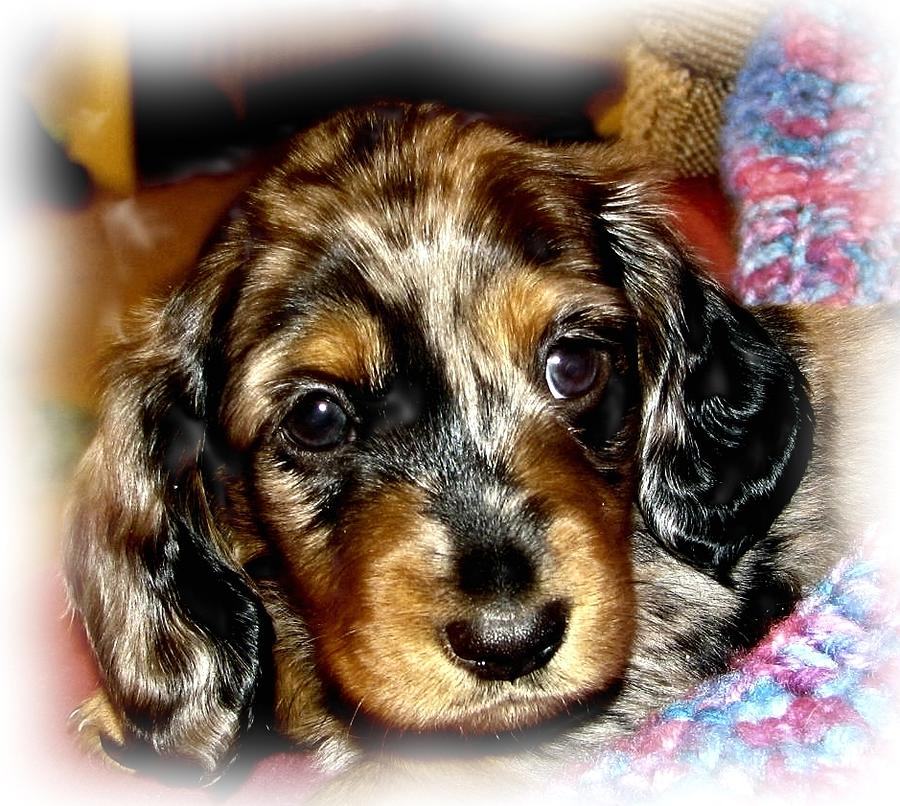 Puppy Photograph - Dapple Dachshund Pup by Victoria Sheldon