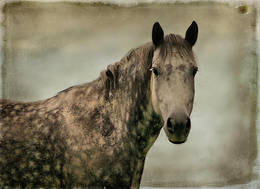 Dapple Gray Photograph  - Dapple Gray Fine Art Print