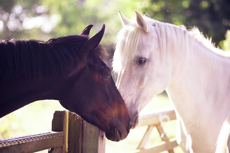 Dark Bay And Gray Horse Sniffing Each Other Photograph