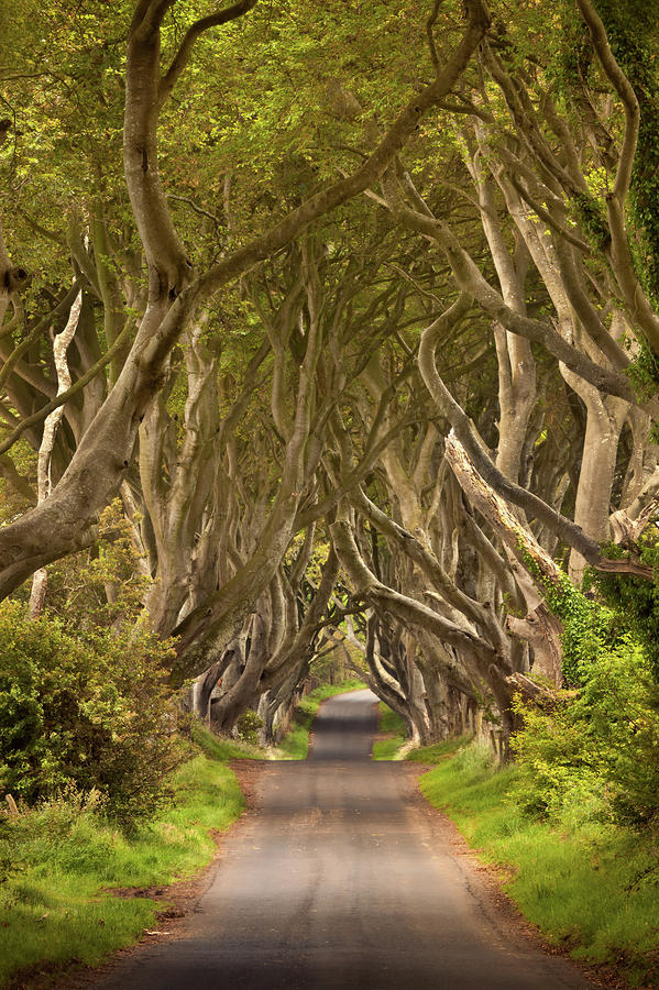 Dark Hedges Photograph