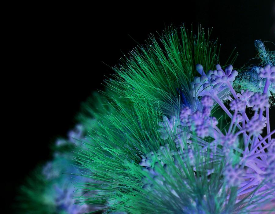 Dark Mimosa Photograph
