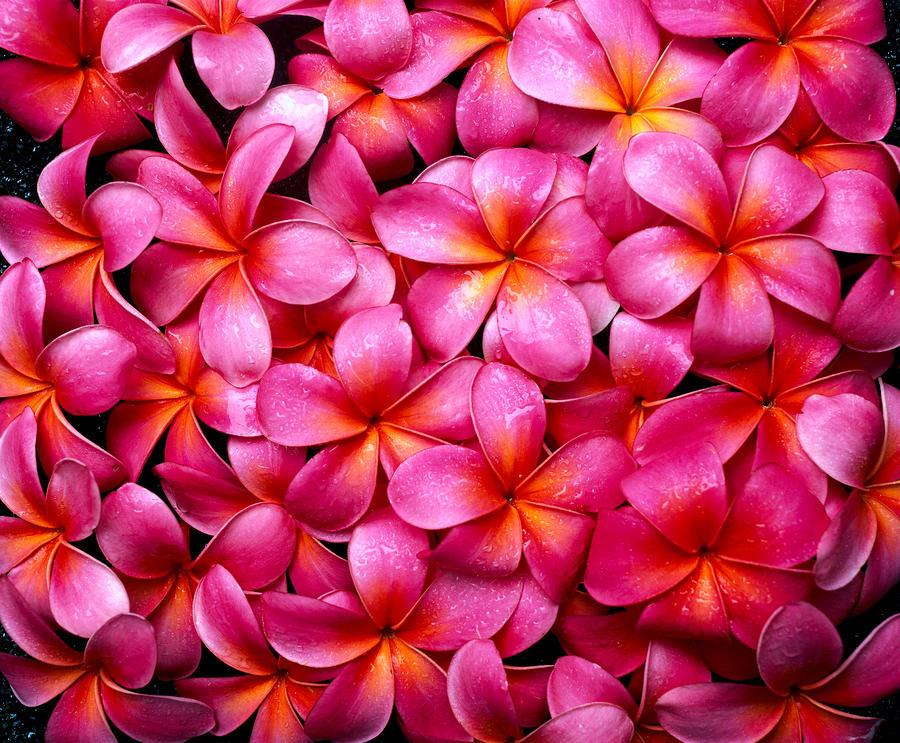 Dark Pink Plumerias By Tomas Del Amo