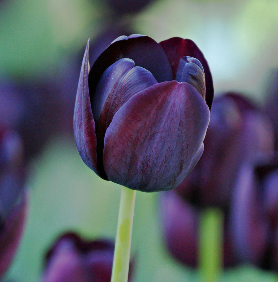 Dark Purple Tulip Photograph  - Dark Purple Tulip Fine Art Print