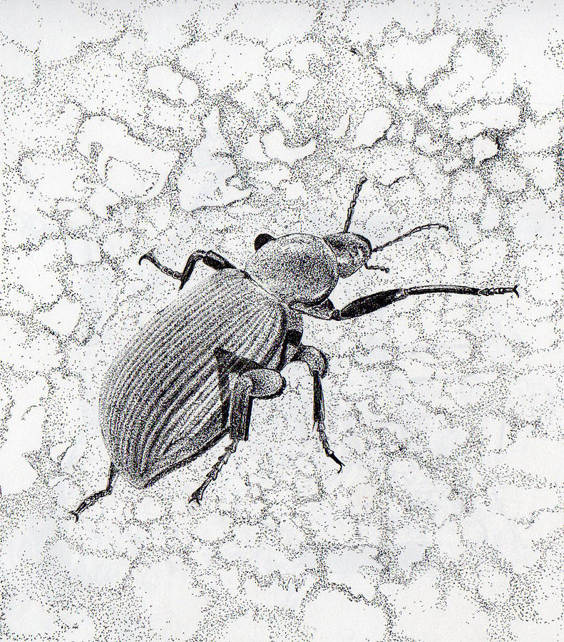 Darkling Bug Drawing  - Darkling Bug Fine Art Print
