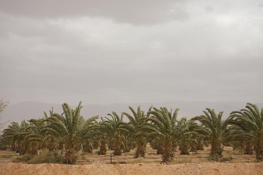 Date Palm Trees In An Orchard Photograph