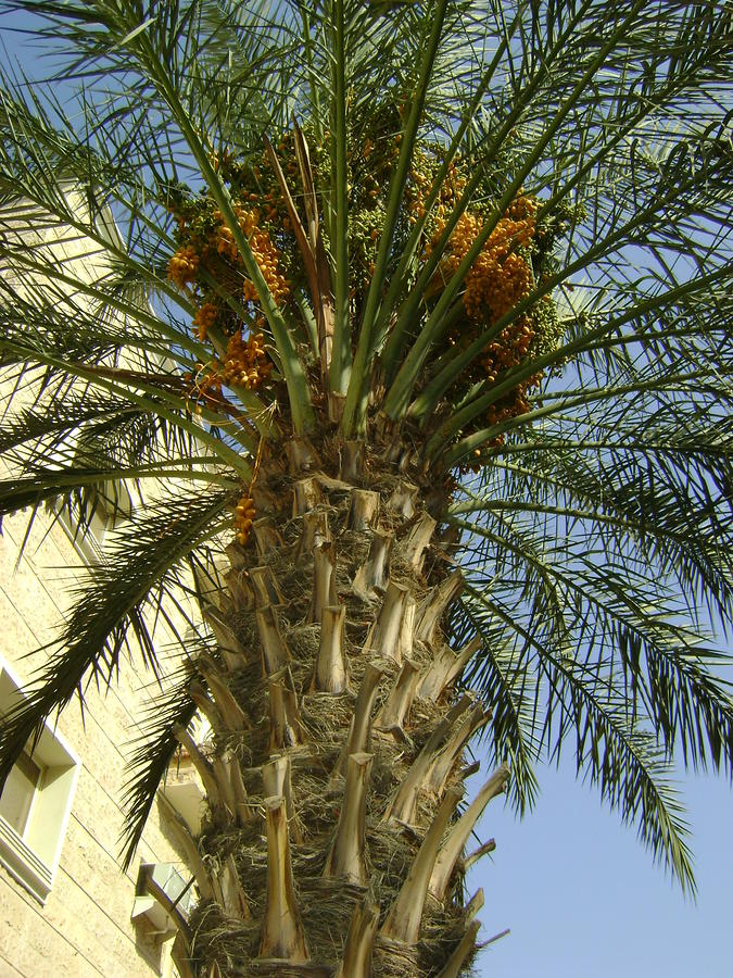 dates come from feast your eyes on the phoenix dactylifera date tree