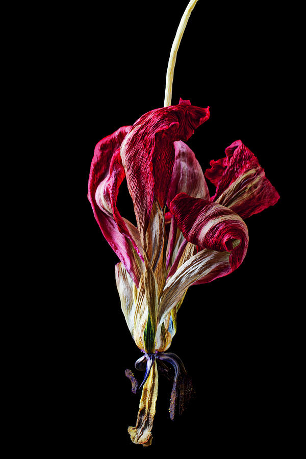Dead Dried Tulip Photograph  - Dead Dried Tulip Fine Art Print