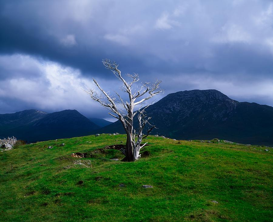 Dead Tree, Connemara, Co Galway, Ireland Photograph