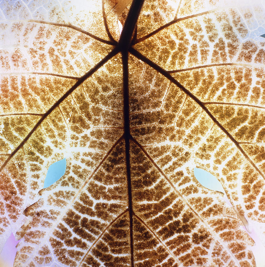 Decomposition Of Leaf Of A Grape Vine Photograph