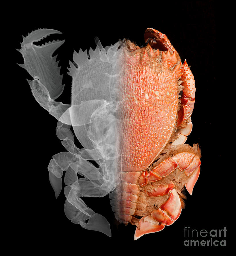 Deep Water Crab, X-ray & Optical Image Photograph  - Deep Water Crab, X-ray & Optical Image Fine Art Print