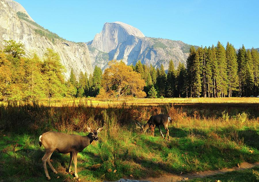 Deer And Half Dome Photograph