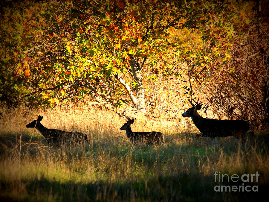 Deer Family In Sycamore Park Photograph  - Deer Family In Sycamore Park Fine Art Print