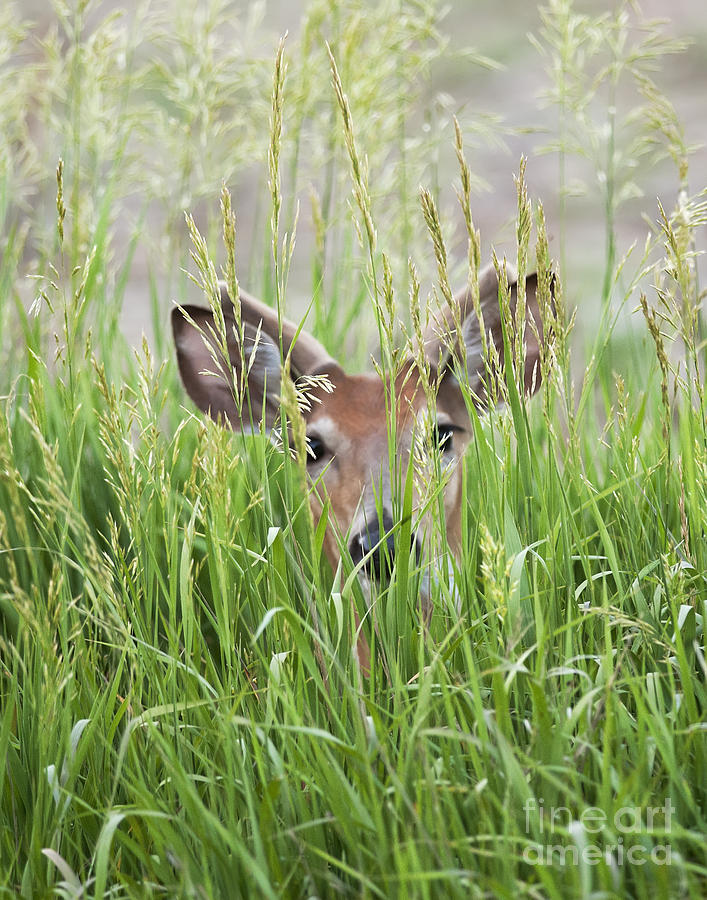 Deer In Hiding is a photograph by Art Whitton which was uploaded on ...