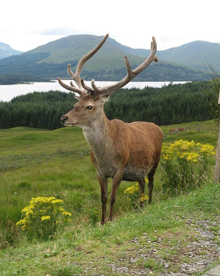 Deer In Scotland Photograph