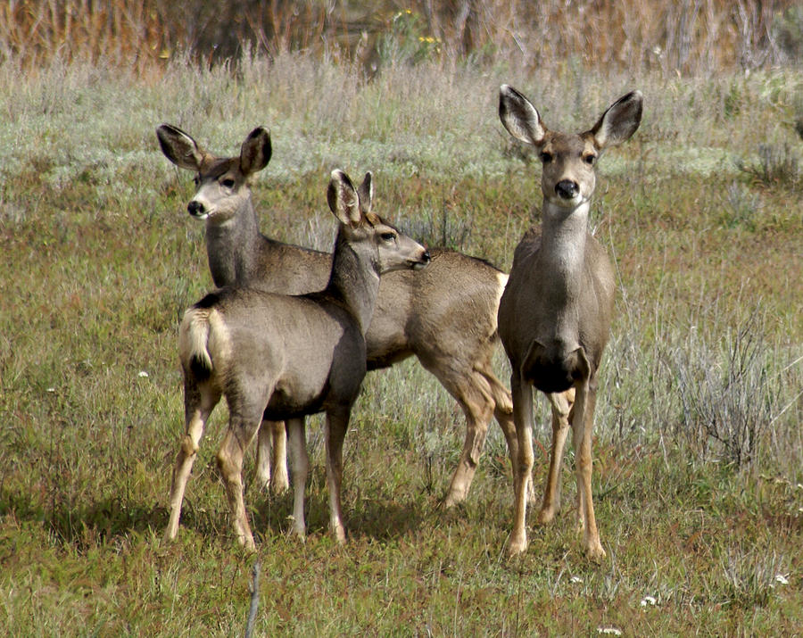 Deer In Southern Colorado Photograph