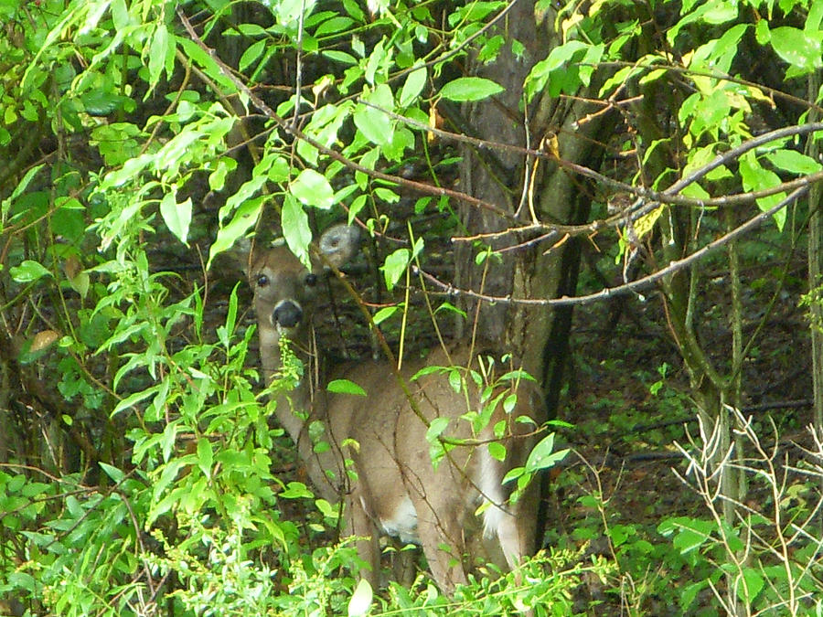 Deer In The Bushes Photograph  - Deer In The Bushes Fine Art Print